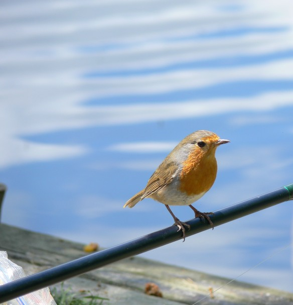 cheeky robin at the lake (2)